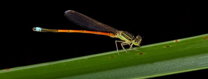 Coenagrionidae, Ischnura aurora, Aurora bluetail, damselfly